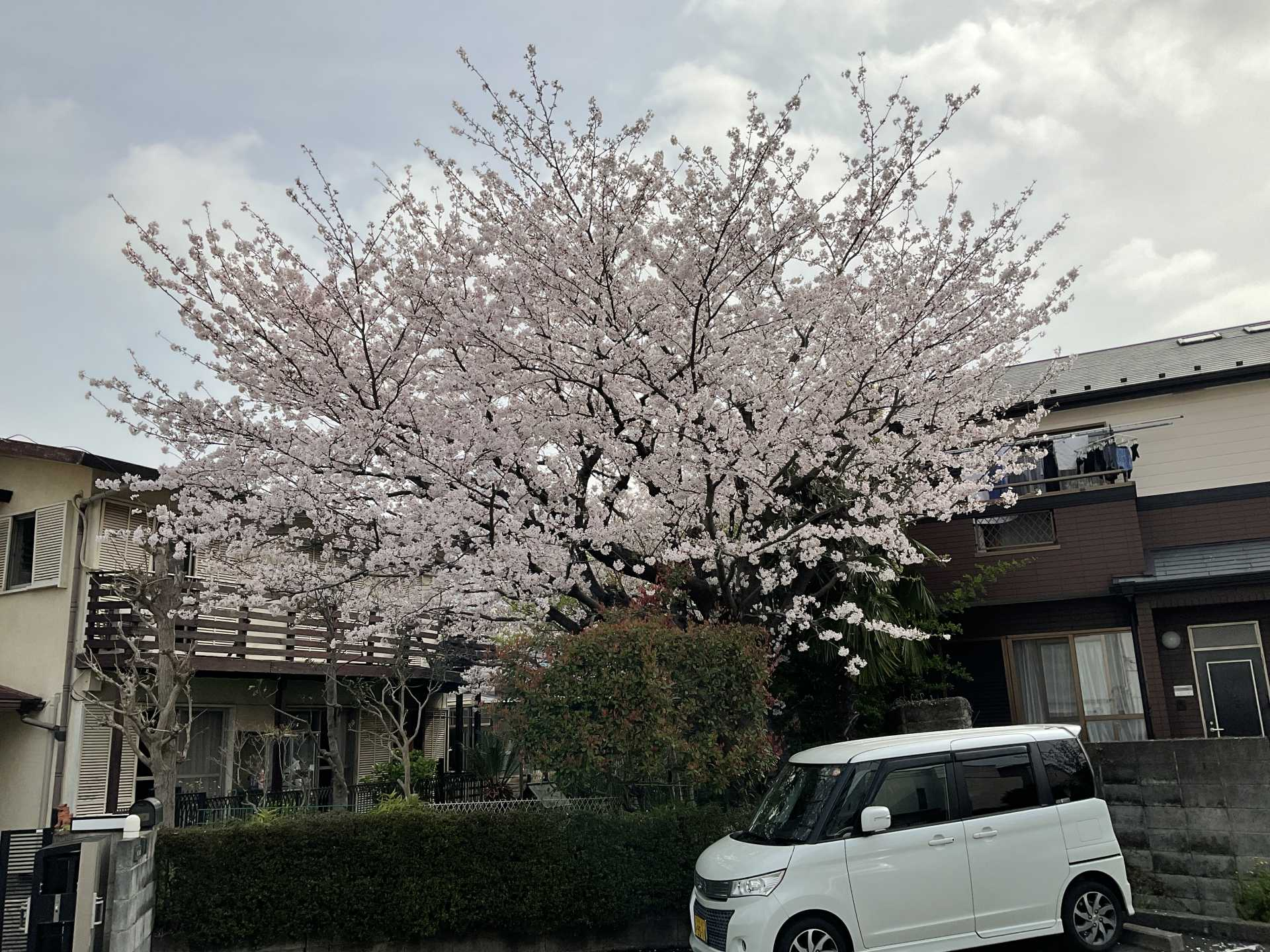 桜を眺めながら・・・